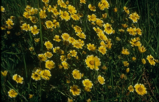 Layia chrysanthemoides -Tidy-tips