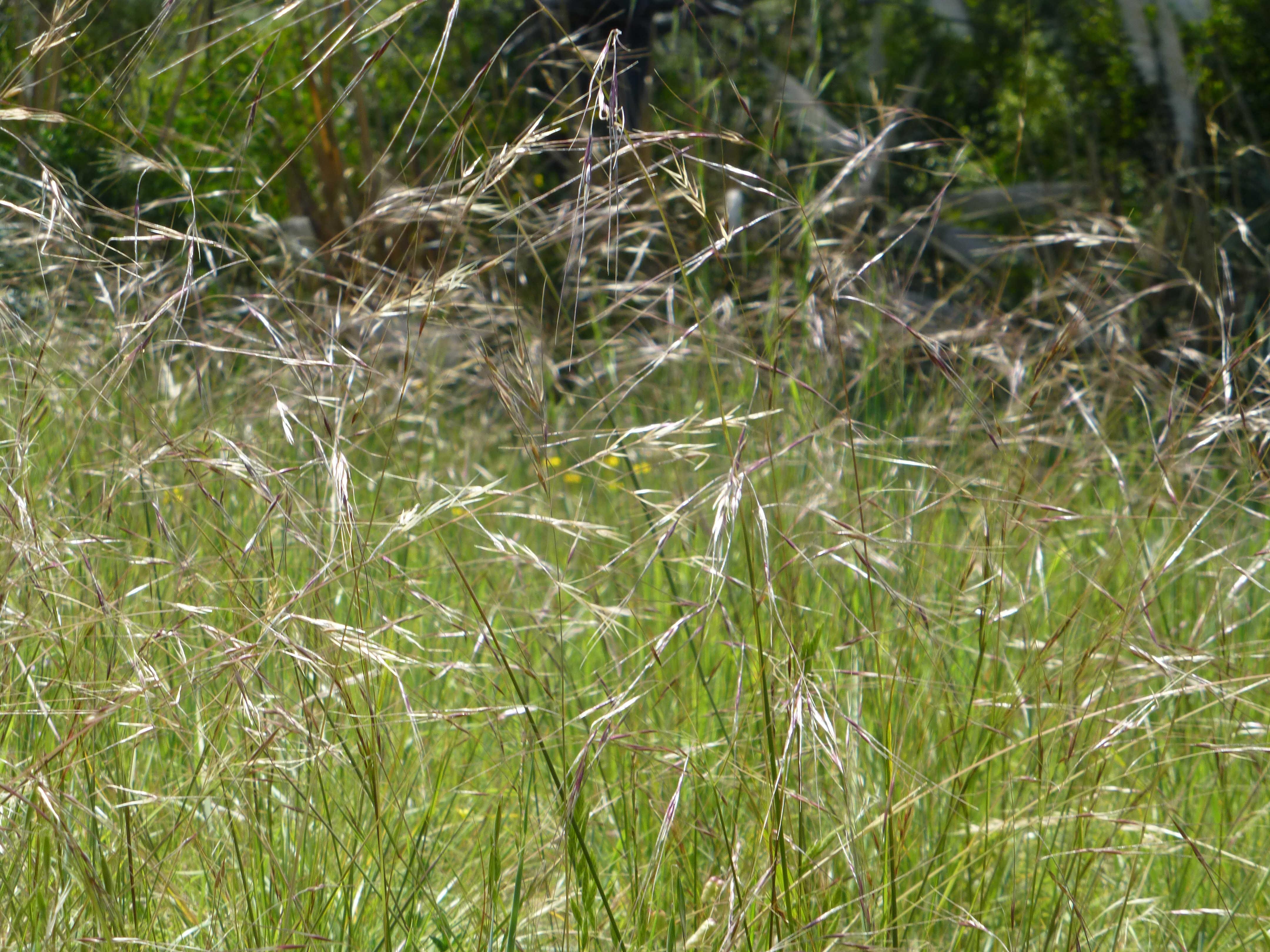 El cerrito madera hillside property miner descent for Purple grass