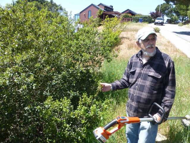 Jim McKissock shows off one of the largest coffeeberry plants in the El Cerrito hills.