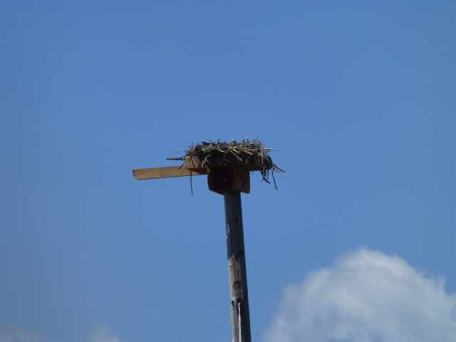 Point Molate Osprey Nest