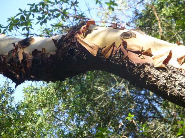 Madrone Limb Over Havey Canyon Trail