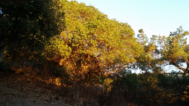 Live Oak at Sunset